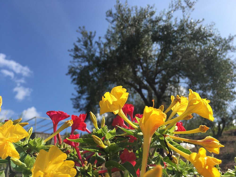 Ginestre Vesuvio - Florami