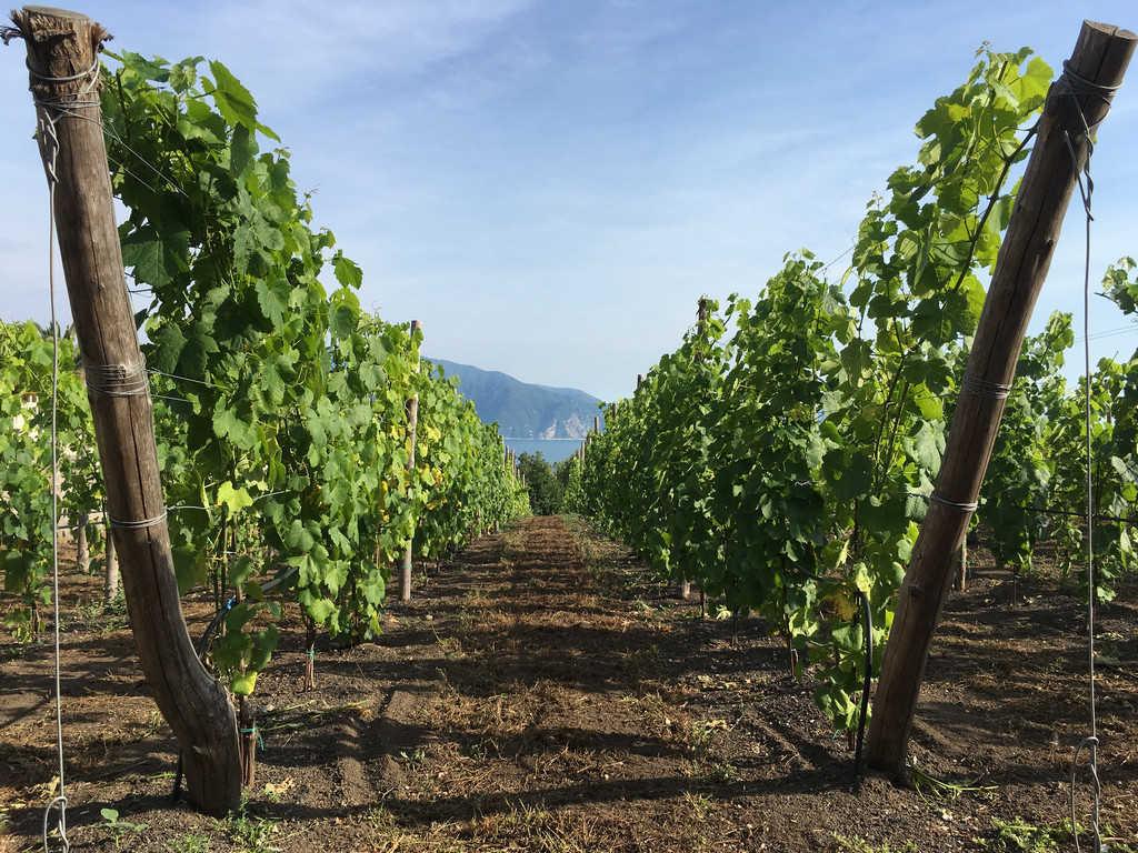Viticultura Piede Franco