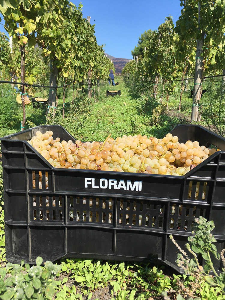 Florami Viticoltori Piede Franco