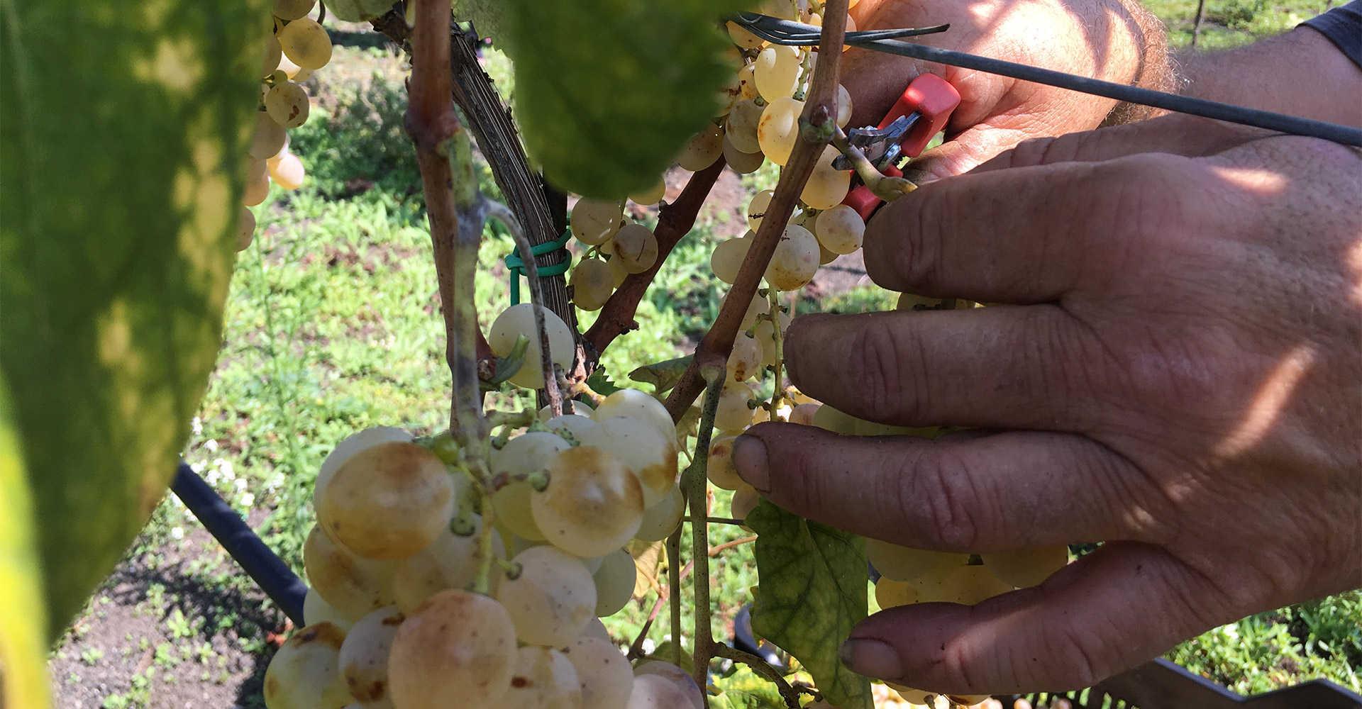 Uva del Vesuvio - Florami Viticoltura a piede franco